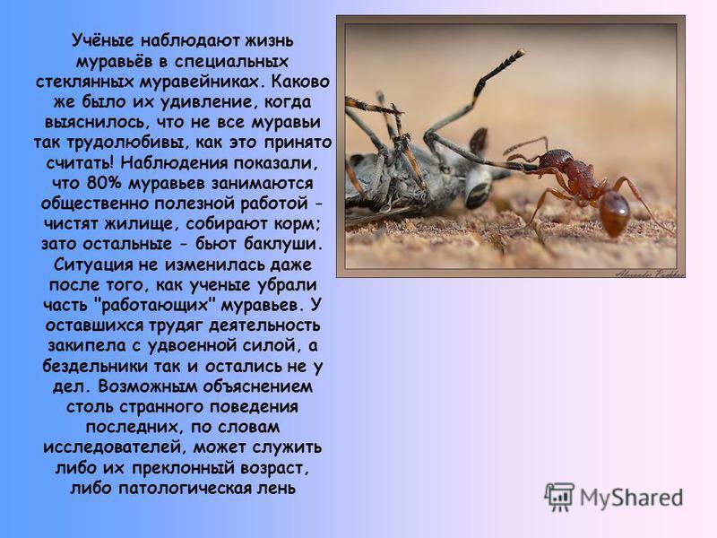Учёные наблюдают жизнь муравьёв в специальных стеклянных муравейниках. Каково же было их удивление, когда выяснилось, что не все муравьи так трудолюбивы, как это принято считать! Наблюдения показали, что 80% муравьев занимаются общественно полезной р