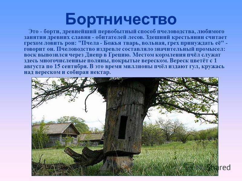 Бортничество Это - борти, древнейший первобытный способ пчеловодства, любимого занятия древних славян - обитателей лесов. Здешний крестьянин считает грехом ловить рои:
