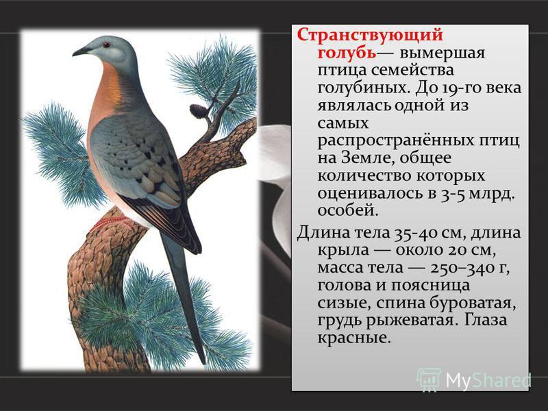 Странствующий голубь вымершая птица семейства голубиных. До 19-го века являлась одной из самых распространённых птиц на Земле, общее количество которых оценивалось в 3-5 млрд. особей. Длина тела 35-40 см, длина крыла около 20 см, масса тела 250–340 г