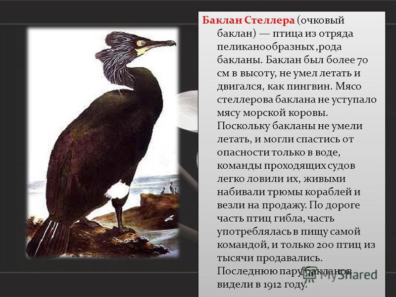 Баклан Стеллера (очковый баклан) птица из отряда пеликанообразных,рода бакланы. Баклан был более 70 см в высоту, не умел летать и двигался, как пингвин. Мясо стеллерова баклана не уступало мясу морской коровы. Поскольку бакланы не умели летать, и мог