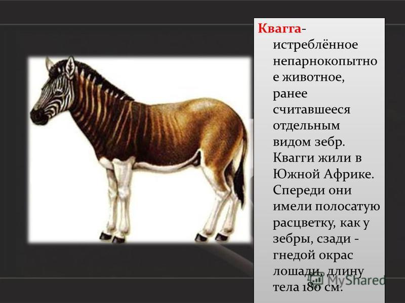 Квагга- истреблённое непарнокопытное животное, ранее считавшееся отдельным видом зебр. Квагги жили в Южной Африке. Спереди они имели полосатую расцветку, как у зебры, сзади - гнедой окрас лошади, длину тела 180 см.