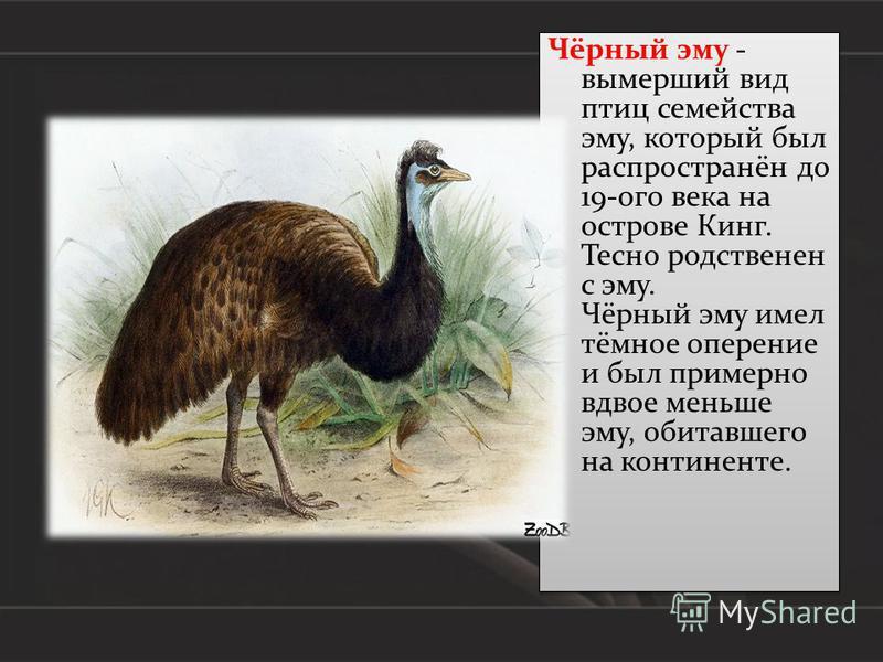 Чёрный эму - вымерший вид птиц семейства эму, который был распространён до 19-ого века на острове Кинг. Тесно родственен с эму. Чёрный эму имел тёмное оперение и был примерно вдвое меньше эму, обитавшего на континенте.