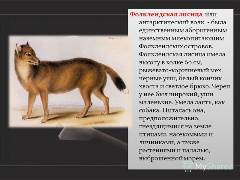 Фолклендская лисица или антарктический волк - была единственным аборигенным наземным млекопитающим Фолклендских островов. Фолклендская лисица имела высоту в холке 60 см, рыжевато-коричневый мех, чёрные уши, белый кончик хвоста и светлое брюхо. Череп
