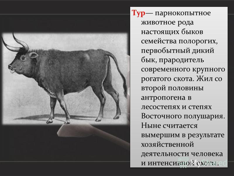 Тур парнокопытное животное рода настоящих быков семейства полорогих, первобытный дикий бык, прародитель современного крупного рогатого скота. Жил со второй половины антропогена в лесостепях и степях Восточного полушария. Ныне считается вымершим в рез