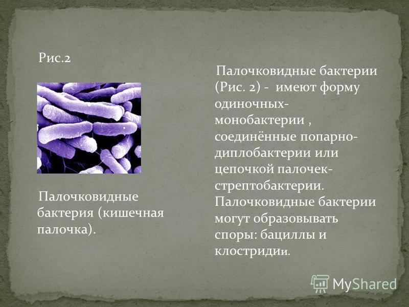Рис.2 Палочковидные бактерия (кишечная палочка). Палочковидные бактерии (Рис. 2) - имеют форму одиночных- моно бактерии, соединённые попарно- диплобактерии или цепочкой палочек- стрептобактерии. Палочковидные бактерии могут образовывать споры: бацилл