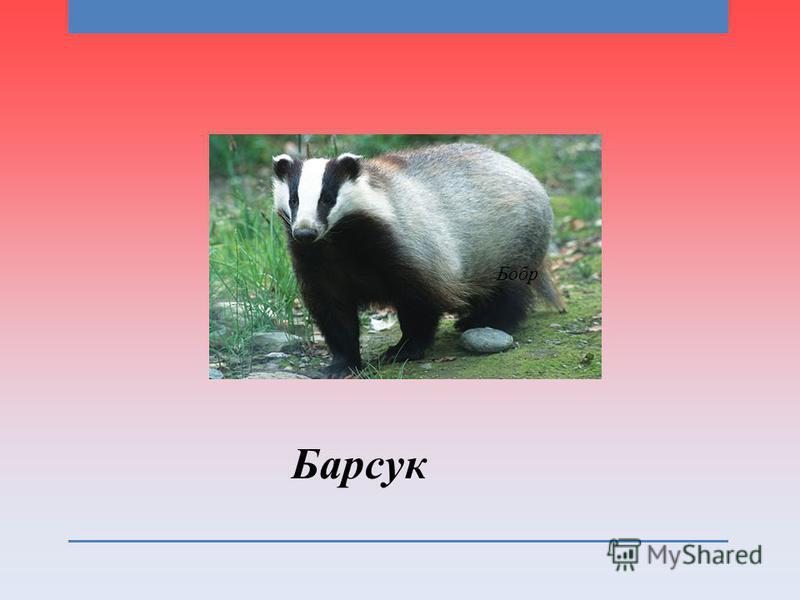 Барсук Бобр