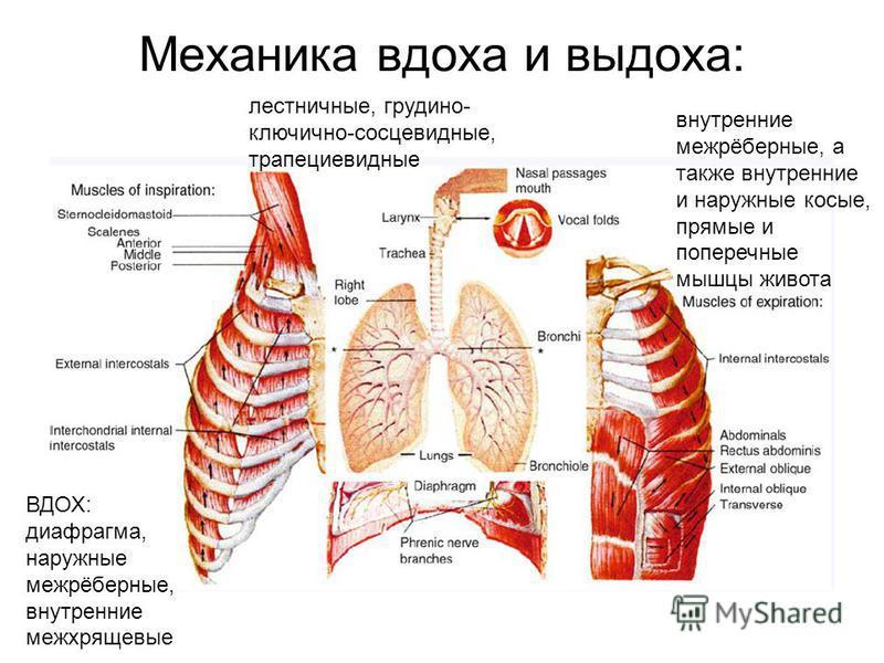 Механика вдоха и выдоха: ВДОХ: диафрагма, наружные межрёберные, внутренние межхрящевые внутренние межрёберные, а также внутренние и наружные косые, прямые и поперечные мышцы живота лестничные, грудино- ключично-сосцевидные, трапециевидные