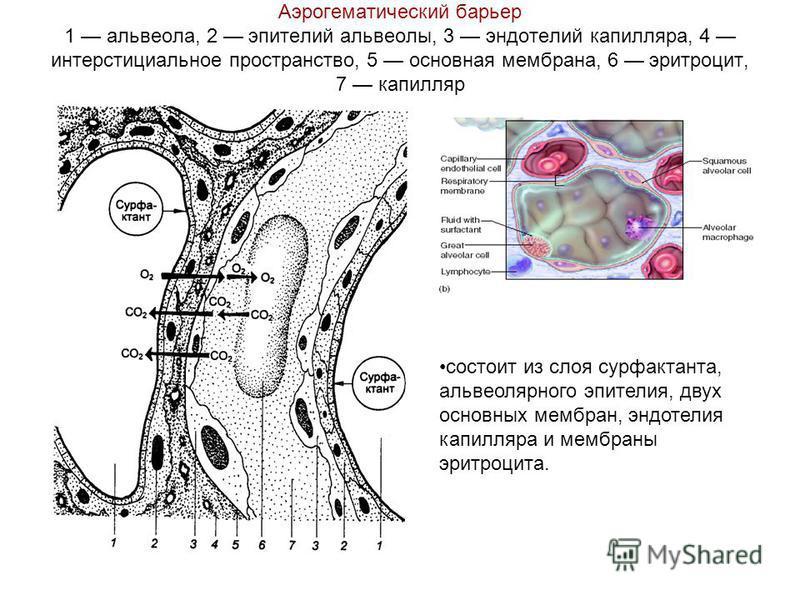 Аэрогематический барьер 1 альвеола, 2 эпителий альвеолы, 3 эндотелий капилляра, 4 интерстициальное пространство, 5 основная мембрана, 6 эритроцит, 7 капилляр состоит из слоя сурфактанта, альвеолярного эпителия, двух основных мембран, эндотелия капилл