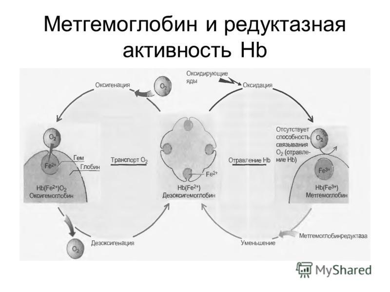 Метгемоглобин и редуктазная активность Нb