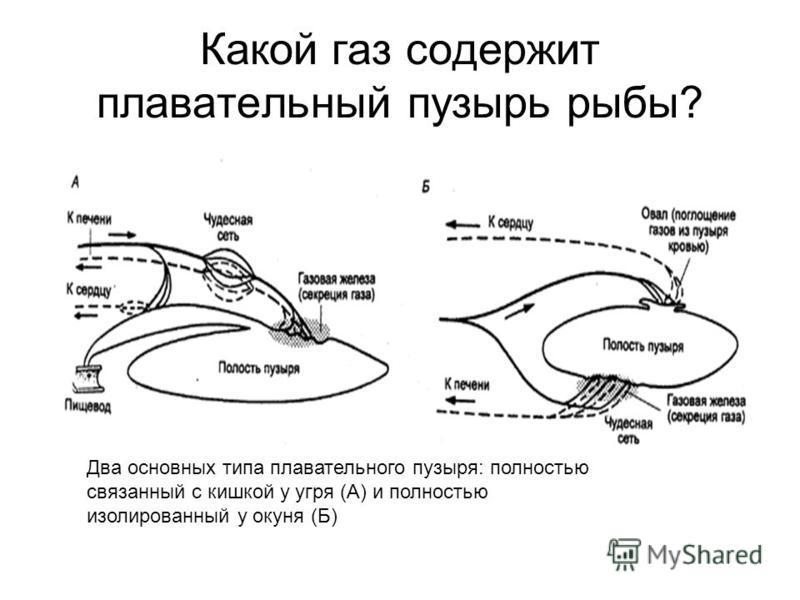 Какой газ содержит плавательный пузырь рыбы? Два основных типа плавательного пузыря: полностью связанный с кишкой у угря (А) и полностью изолированный у окуня (Б)