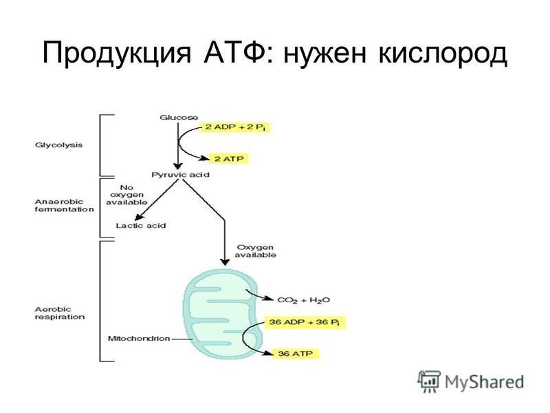 Продукция АТФ: нужен кислород