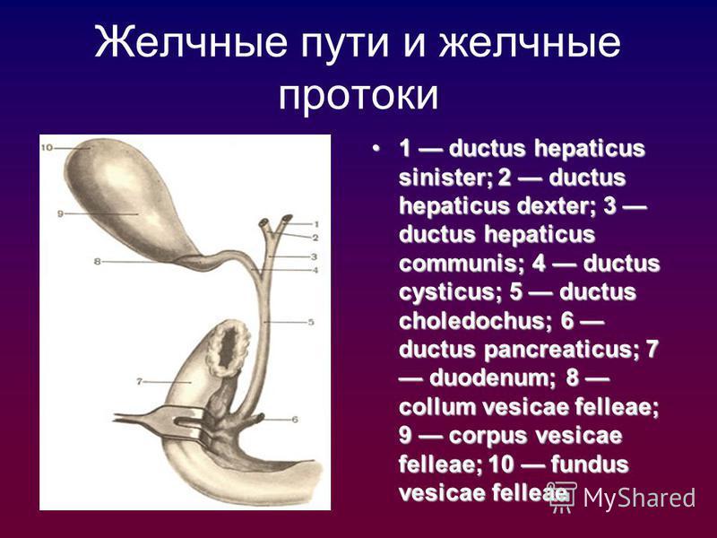 Желчные пути и желчные протоки 1 ductus hepaticus sinister; 2 ductus hepaticus dexter; 3 ductus hepaticus communis; 4 ductus cysticus; 5 ductus choledochus; 6 ductus pancreaticus; 7 duodenum; 8 collum vesicae felleae; 9 corpus vesicae felleae; 10 fun