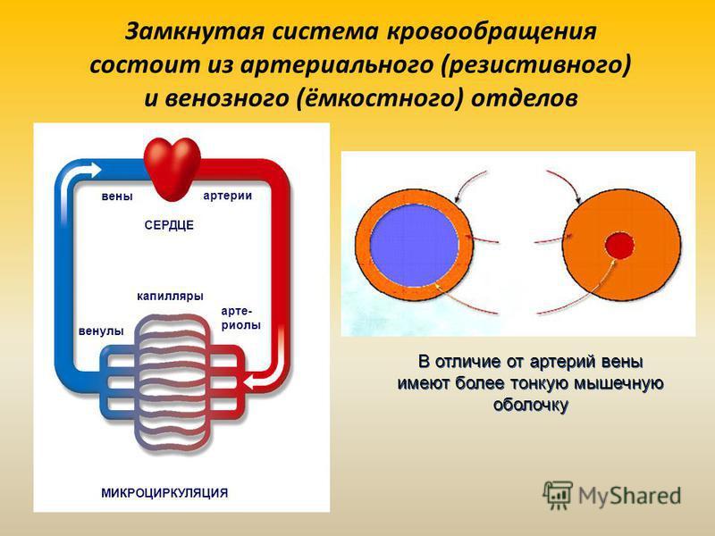 Замкнутая система кровообращения состоит из артериального (резистивного) и венозного (ёмкостного) отделов МИКРОЦИРКУЛЯЦИЯ вены артерии СЕРДЦЕ капилляры венулы артериолы В отличие от артерий вены имеют более тонкую мышечную оболочку В отличие от артер