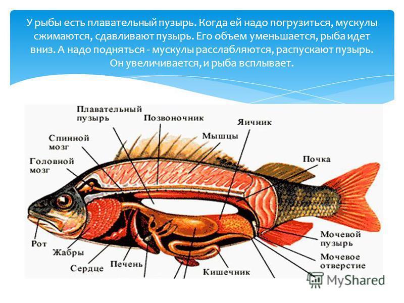 У рыбы есть плавательный пузырь. Когда ей надо погрузиться, мускулы сжимаются, сдавливают пузырь. Его объем уменьшается, рыба идет вниз. А надо подняться - мускулы расслабляются, распускают пузырь. Он увеличивается, и рыба всплывает.