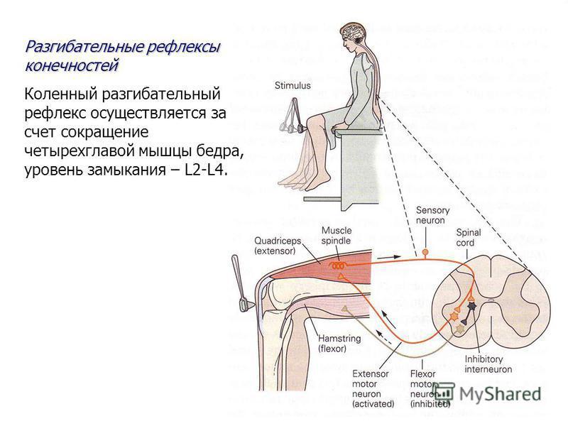 Разгибательные рефлексы конечностей Коленный разгибательный рефлекс осуществляется за счет сокращение четырехглавой мышцы бедра, уровень замыкания – L2-L4.
