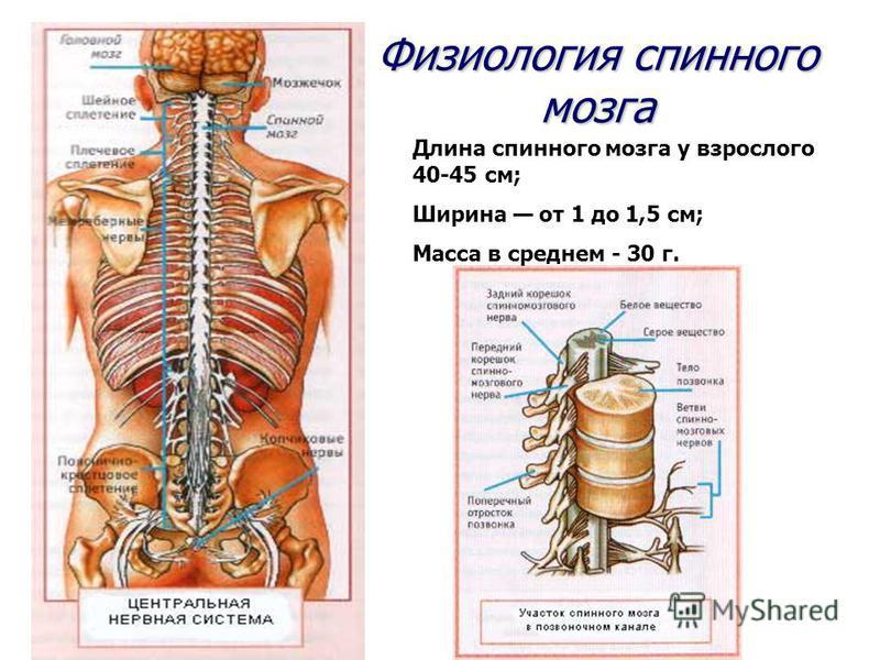 Физиология спинного мозга Длина спинного мозга у взрослого 40-45 см; Ширина от 1 до 1,5 см; Масса в среднем - 30 г.