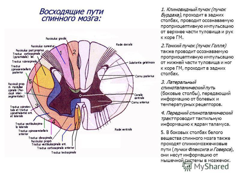 Восходящие пути спинного мозга: 1. Клиновидный пучок (пучок Бурдаха), 1. Клиновидный пучок (пучок Бурдаха), проходит в задних столбах, проводит осознаваемую проприоцептивную импульсацию от верхнее части туловища и рук к коре ГМ. 2. Тонкий пучок (пучо