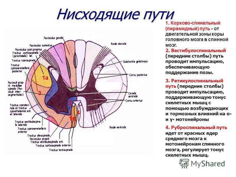 Нисходящие пути 1. Корково-спинальный (пирамидный) путь - от двигательной зоны коры головного мозга в спинной мозг. 2. Вестибулоспинальный (передние столбы) путь проводит импульсацию, обеспечивающую поддержание позы. 3. Ретикулоспинальный путь (перед