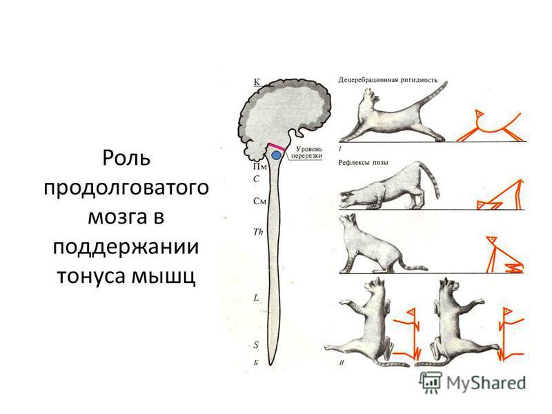 Роль продолговатого мозга в поддержании тонуса мышц