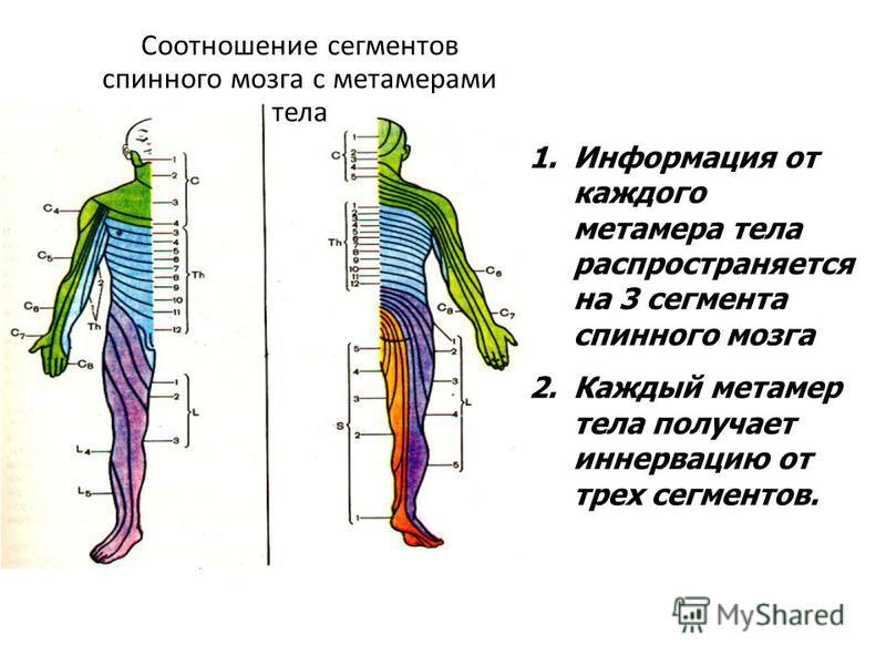 1. Информация от каждого метамера тела распространяется на 3 сегмента спинного мозга 2. Каждый метамер тела получает иннервацию от трех сегментов. Соотношение сегментов спинного мозга с метамерами тела