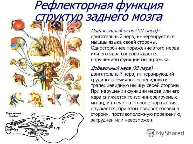 Рефлекторная функция структур заднего мозга Подъязычный нерв (ХII пара) - двигательный нерв, иннервирует все мышцы языка своей стороны. Одностороннее поражение этого нерва или его ядра сопровождается нарушением функции мышц языка. Добавочный нерв (ХI