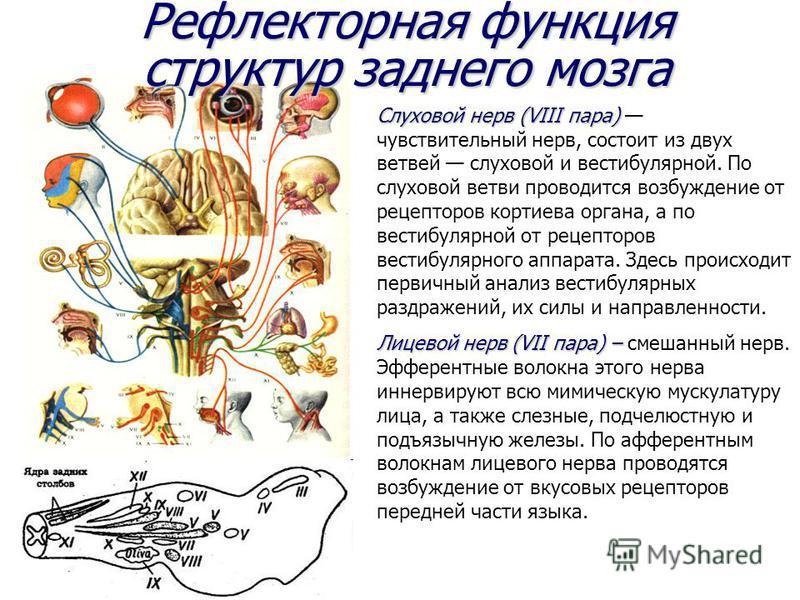 Рефлекторная функция структур заднего мозга Слуховой нерв (VIII пара) Слуховой нерв (VIII пара) чувствительный нерв, состоит из двух ветвей слуховой и вестибулярной. По слуховой ветви проводится возбуждение от рецепторов кортиева органа, а по вестибу