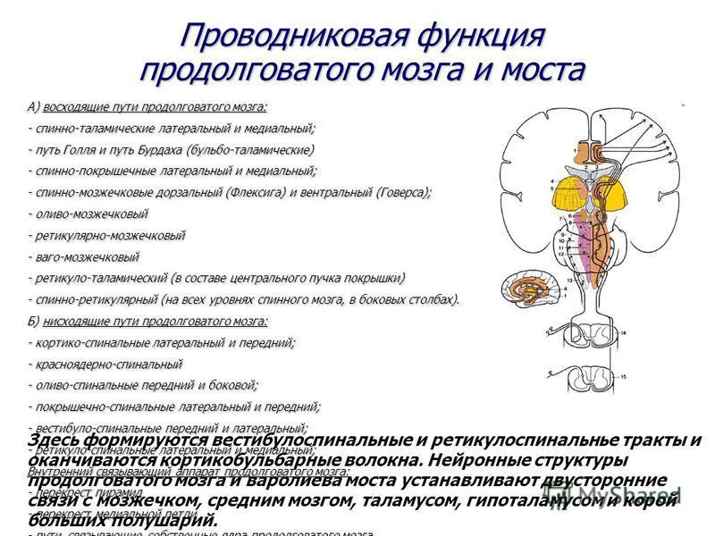 Проводниковая функция продолговатого мозга и моста А) восходящие пути продолговатого мозга: - спинно-таламические латеральный и медиальный; - путь Голля и путь Бурдаха (бульбо-таламические) - спинно-покрышечные латеральный и медиальный; - спинно-мозж