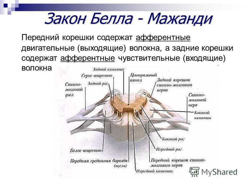 Закон Белла - Мажанди Передний корешки содержат афферентные двигательные (выходящие) волокна, а задние корешки содержат афферентные чувствительные (входящие) волокна