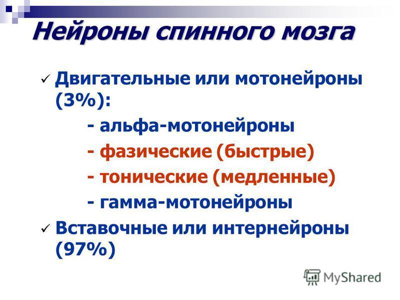 Нейроны спинного мозга Двигательные или мотонейроны (3%): - альфа-мотонейроны - фазические (быстрые) - тонические (медленные) - гамма-мотонейроны Вставочные или интернейроны (97%)