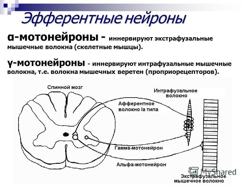 Эфферентныенейроны Эфферентные нейроны α-мотонейроны - иннервируют экстрафузальные мышечные волокна (скелетные мышцы). γ-мотонейроны - иннервируют интрафузальные мышечные волокна, т.е. волокна мышечных веретен (проприорецепторов).