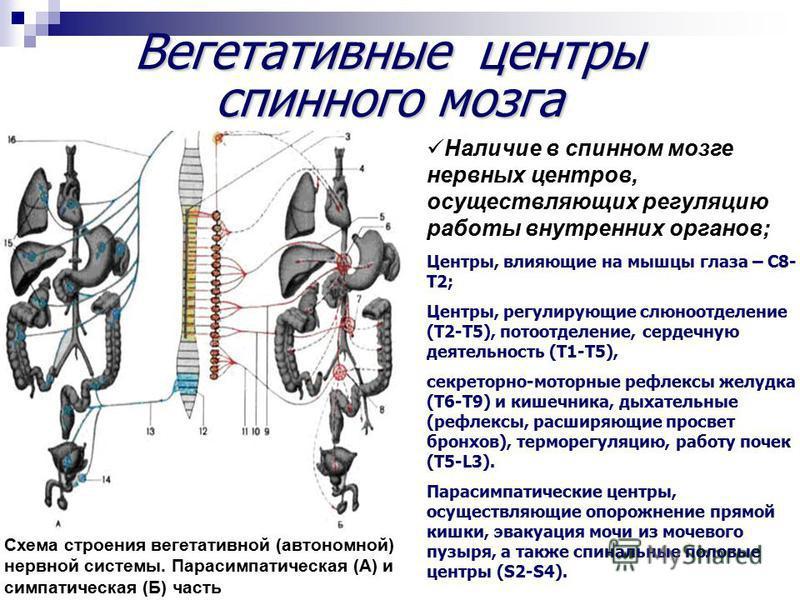 Вегетативные центры спинного мозга Схема строения вегетативной (автономной) нервной системы. Парасимпатическая (А) и симпатическая (Б) часть Наличие в спинном мозге нервных центров, осуществляющих регуляцию работы внутренних органов; Центры, влияющие