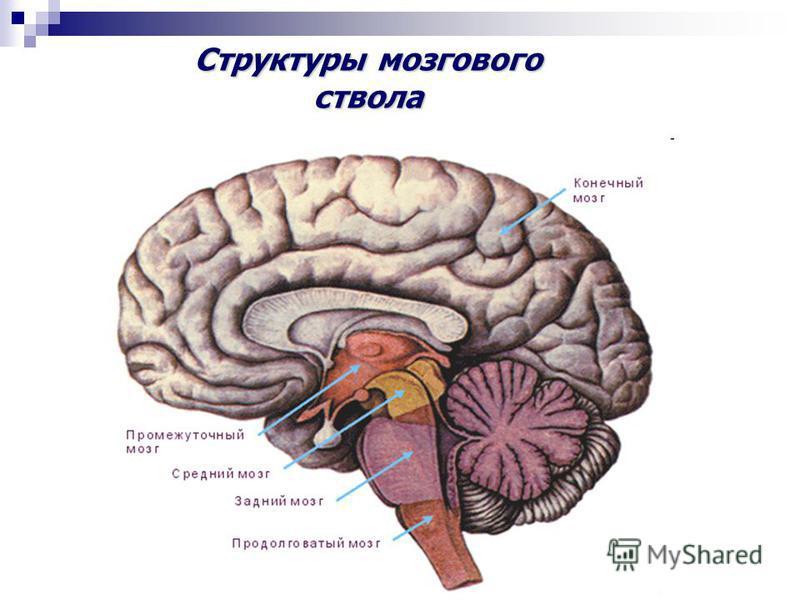 Структуры мозгового ствола