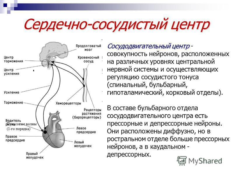 Сердечно-сосудистый центр Пульсовые волны (1-го порядка) Сосудодвигательный центр Сосудодвигательный центр - совокупность нейронов, расположенных на различных уровнях центральной нервной системы и осуществляющих регуляцию сосудистого тонуса (спинальн