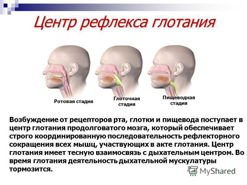 Центр рефлекса глотания Возбуждение от рецепторов рта, глотки и пищевода поступает в центр глотания продолговатого мозга, который обеспечивает строго координированную последовательность рефлекторного сокращения всех мышц, участвующих в акте глотания.