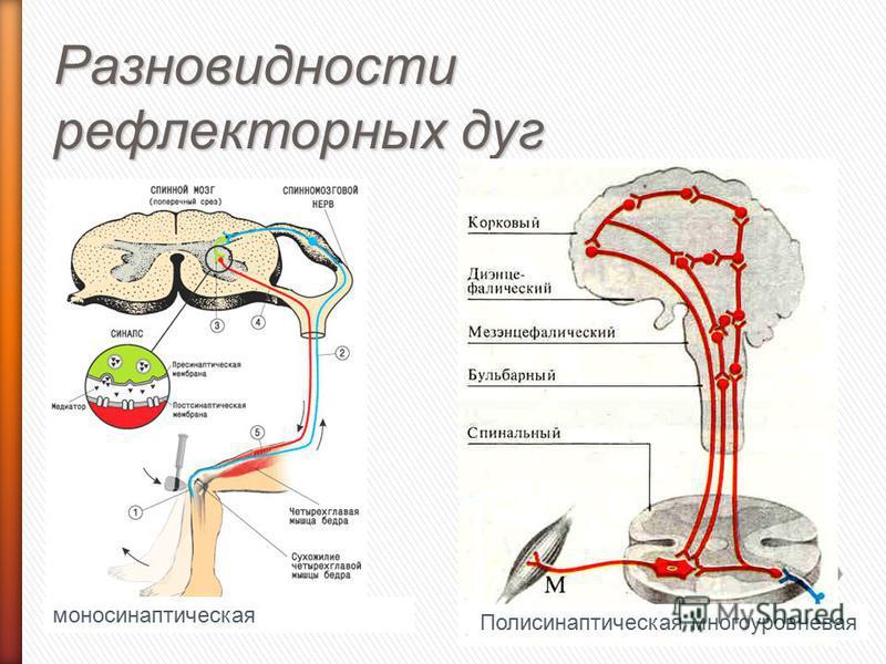 Разновидности рефлекторных дуг моносинаптическая Полисинаптическая многоуровневая