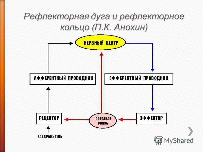 Рефлекторная дуга и рефлекторное кольцо (П.К. Анохин)
