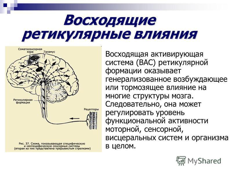 Восходящая активирующая система (ВАС) ретикулярной формации оказывает генерализованное возбуждающее или тормозящее влияние на многие структуры мозга. Следовательно, она может регулировать уровень функциональной активности моторной, сенсорной, висцера