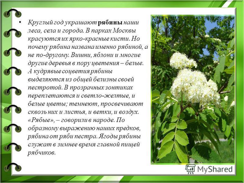 Круглый год украшают рябины наши леса, села и города. В парках Москвы красуются их ярко-красные кисти. Но почему рябина названа именно рябиной, а не по-другому. Вишни, яблони и многие другие деревья в пору цветения – белые. А кудрявые соцветия рябины