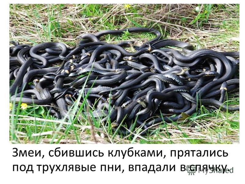 Змеи, сбившись клубками, прятались под трухлявые пни, впадали в спячку.