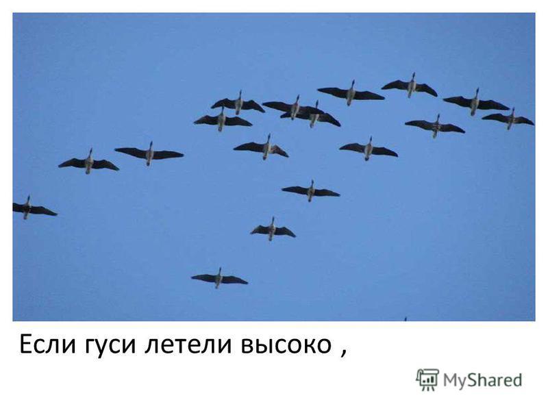 Если гуси летели высоко,