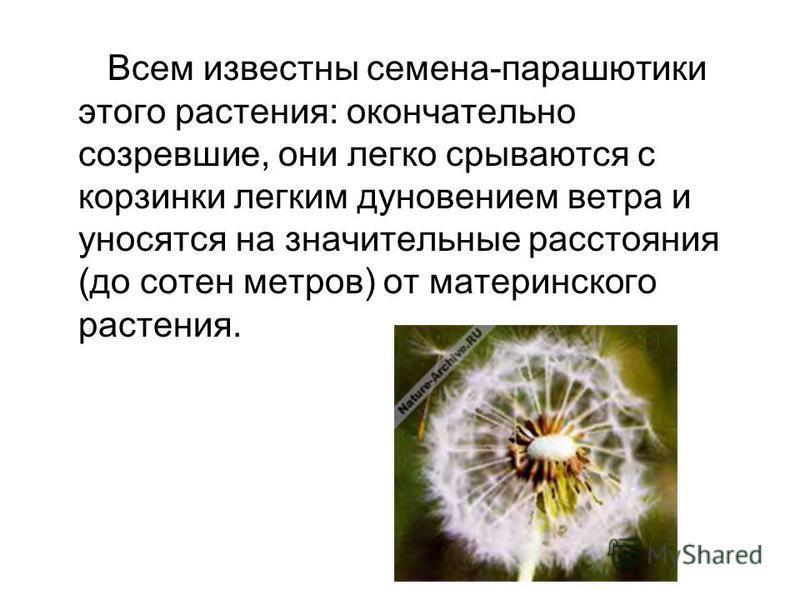 Всем известны семена-парашютики этого растения: окончательно созревшие, они легко срываются с корзинки легким дуновением ветра и уносятся на значительные расстояния (до сотен метров) от материнского растения.