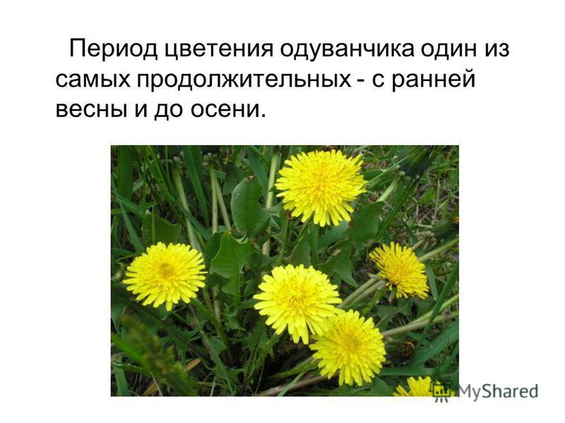 Период цветения одуванчика один из самых продолжительных - с ранней весны и до осени.