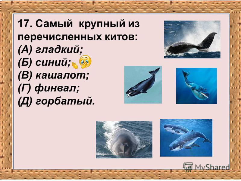 17. Самый крупный из перечисленных китов: (А) гладкий; (Б) синий; (В) кашалот; (Г) финвал; (Д) горбатый.
