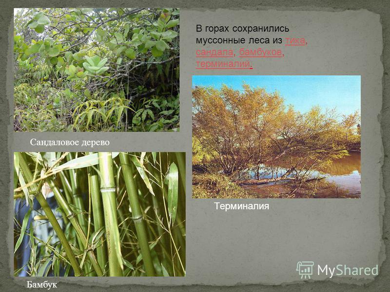 В горах сохранились муссонные леса из тика, сандала, бамбуков, терминалий.тика сандалабамбуков терминалий Сандаловое дерево Бамбук Терминалия
