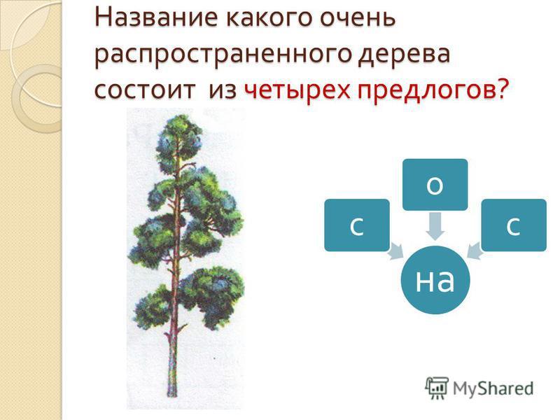Название какого очень распространенного дерева состоит из четырех предлогов ? на сос