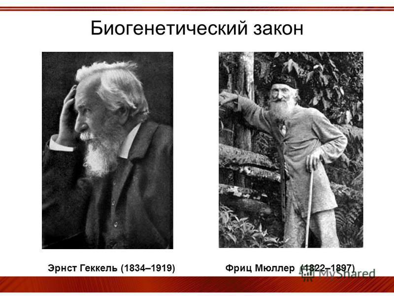 Биогенетический закон Эрнст Геккель (1834–1919) Фриц Мюллер (1822–1897)