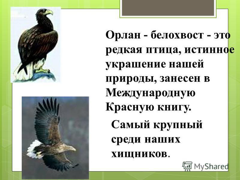 Орлан - белохвост - это редкая птица, истинное украшение нашей природы, занесен в Международную Красную книгу. Самый крупный среди наших хищников.