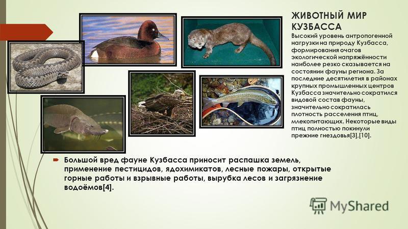 ЖИВОТНЫЙ МИР КУЗБАССА Высокий уровень антропогенной нагрузки на природу Кузбасса, формирования очагов экологической напряжённости наиболее резко сказывается на состоянии фауны региона. За последние десятилетия в районах крупных промышленных центров К