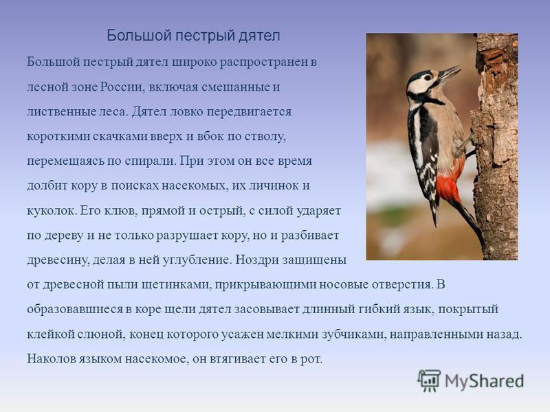 Большой пестрый дятел Большой пестрый дятел широко распространен в лесной зоне России, включая смешанные и лиственные леса. Дятел ловко передвигается короткими скачками вверх и вбок по стволу, перемещаясь по спирали. При этом он все время долбит кору