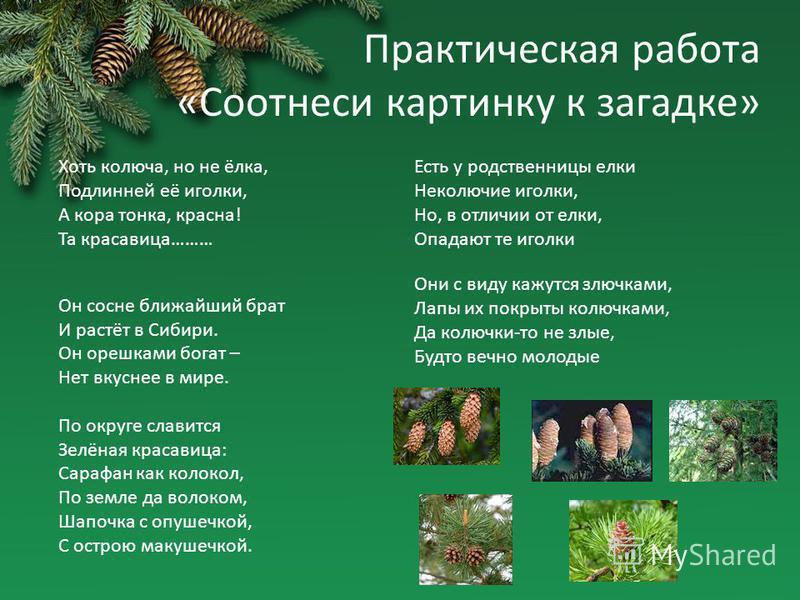 Практическая работа «Соотнеси картинку к загадке» Хоть колюча, но не ёлка, Подлинней её иголки, А кора тонка, красна! Та красавица……… Он сосне ближайший брат И растёт в Сибири. Он орешками богат – Нет вкуснее в мире. По округе славится Зелёная красав